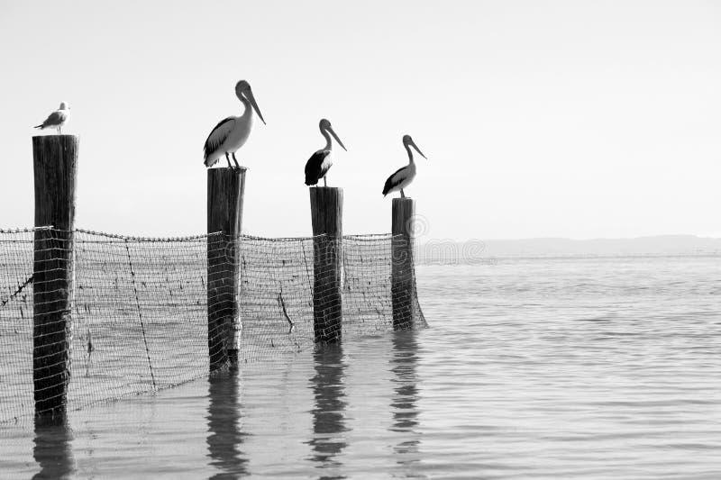 Australian pelicans stock photo