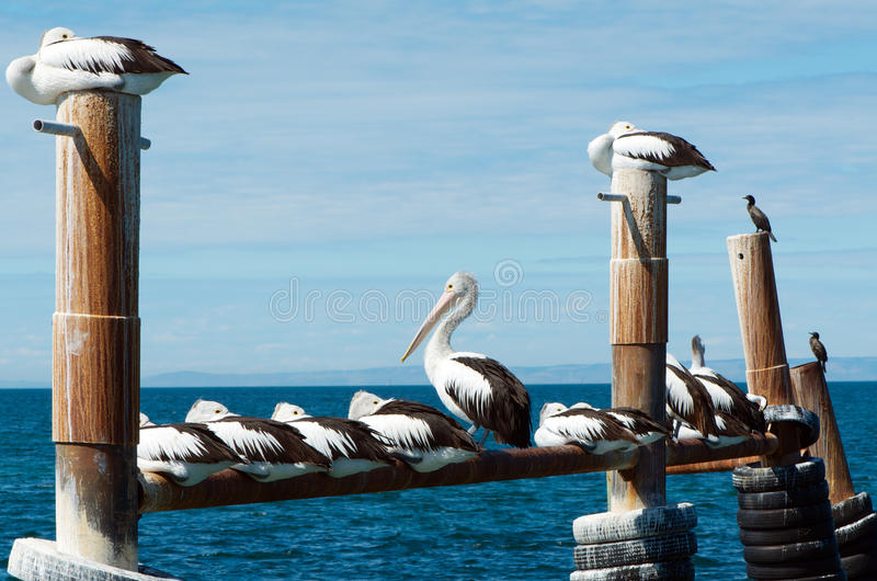 Australian pelicans. Colony of Australian pelicans resting in a harbour stock photos