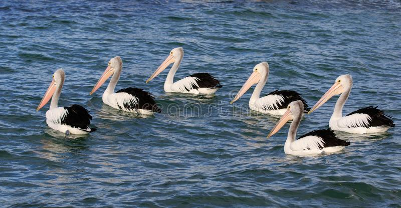 Australian Pelicans Pelecanus Conspicillatus grouped up ready to fish in blue water stock photography