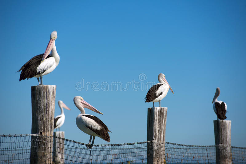 Australian pelicans stock image