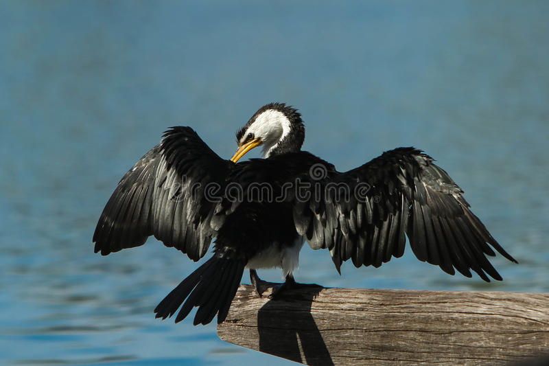Download Australian Pied Cormorant With Spread Wings Stock Photo - Image: 29727722