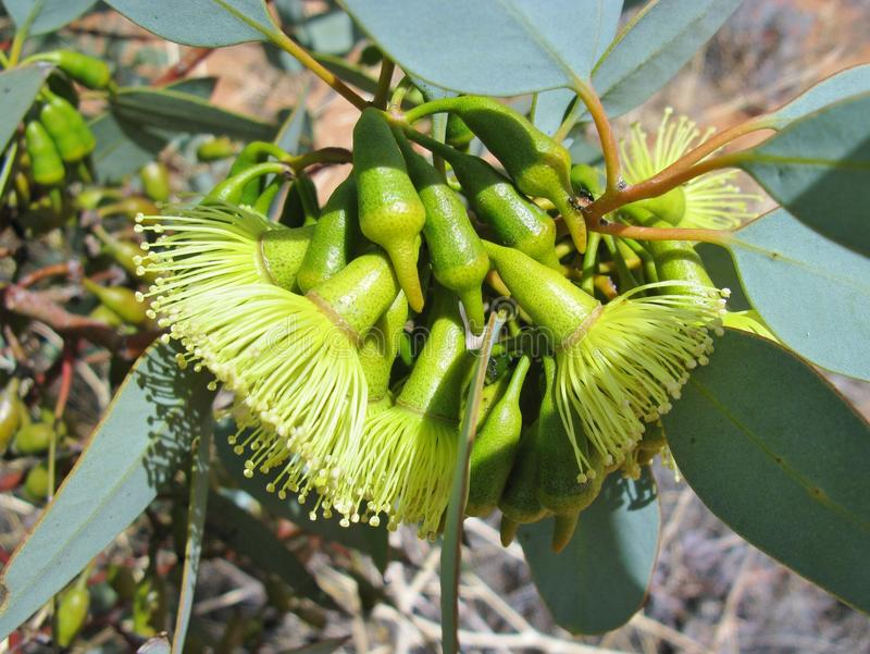 The Australian pimpin mallee flowers royalty free stock photos