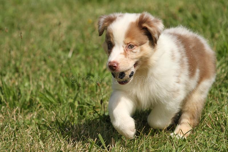 Australian puppy playing with a ball stock photos