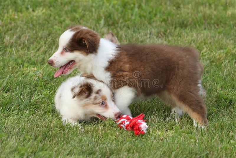 Australian puppy's royalty free stock images