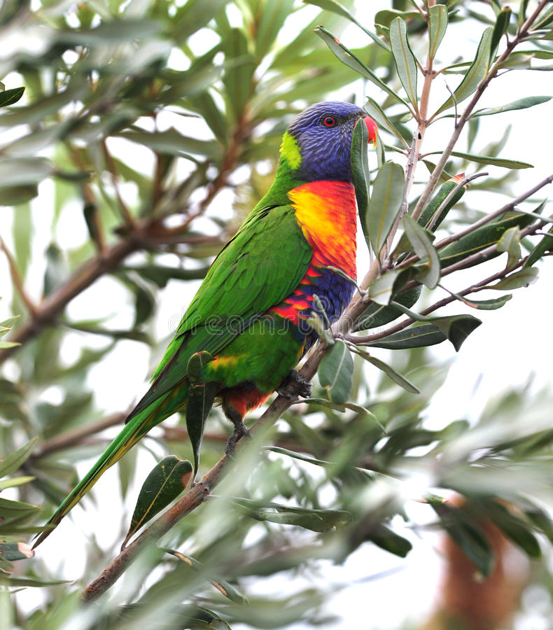 Australian rainbow lorikeet in tropical setting stock images