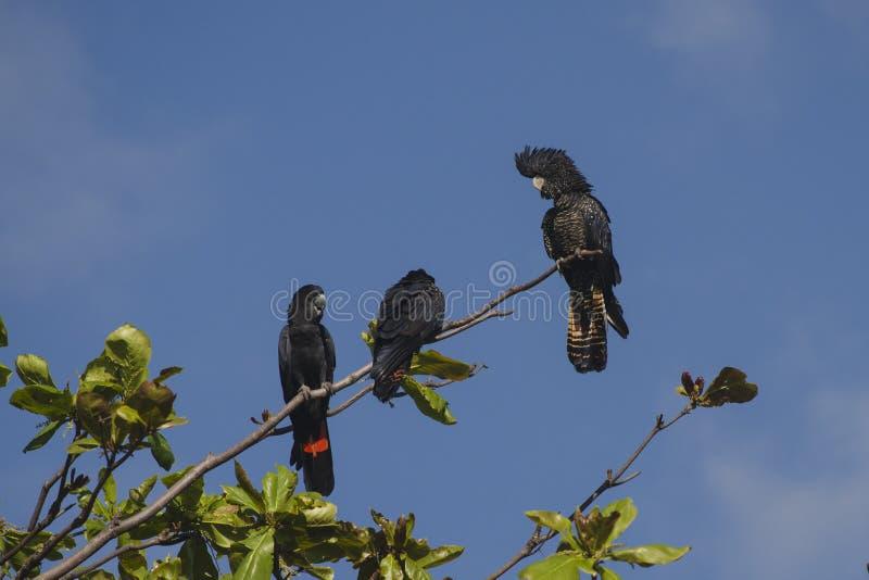 Australian Red-Tailed Black Cockatoos stock photos