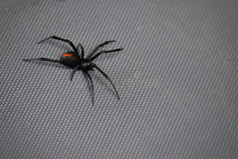 Australian redback spider stock photo
