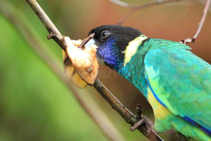 Australian ringneck. The australian ringneck parrot on the branch stock images