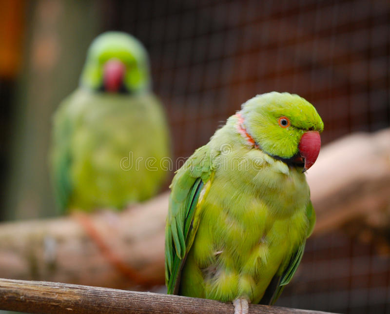 Australian Ringneck parrots royalty free stock images