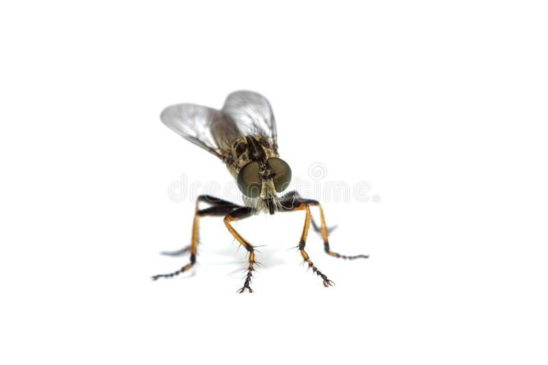 Australian robber fly royalty free stock images