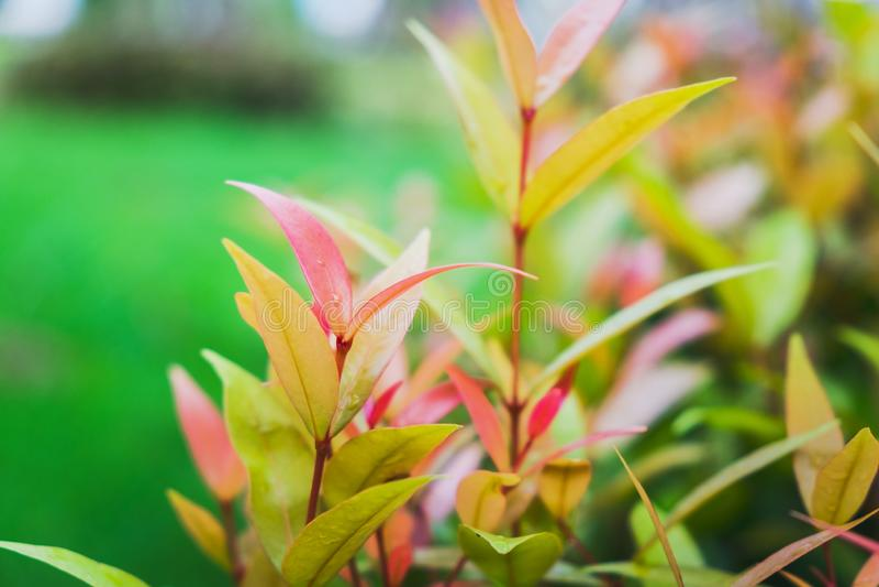 Australian Rose Apple/Brush Cherry/Creek Lily Pilly/Creek Satinash in the garden. Australian Rose Apple/Brush Cherry/Creek Lily Pilly/Creek Satinash in the stock images