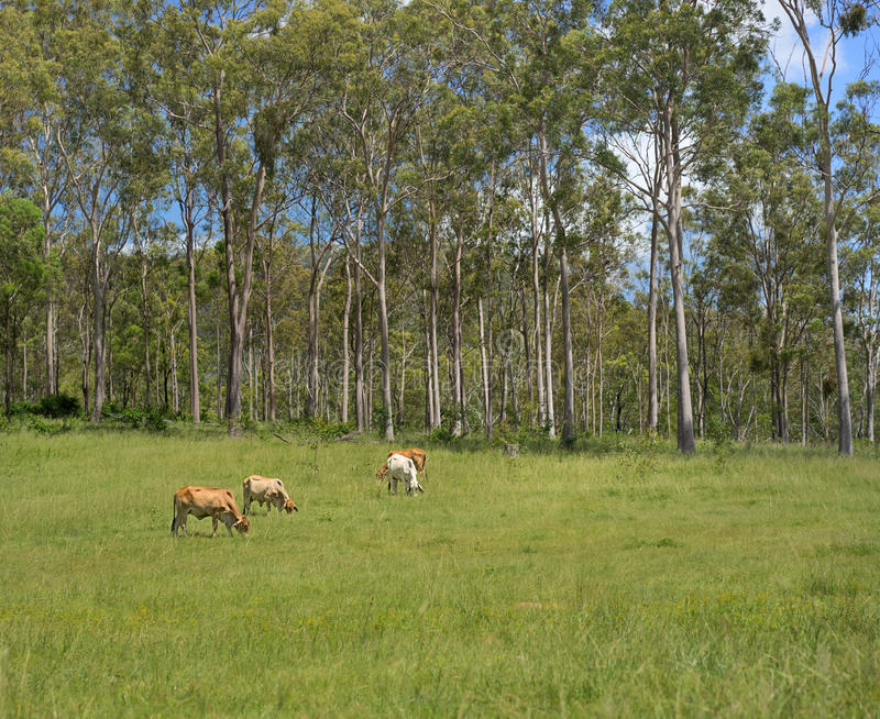 Australian Rural Bush Scene. Landscape with tall gum trees and beef cattle grazing on fresh green grass royalty free stock images