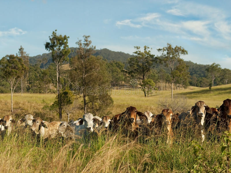 Australian rural landscape cattle country. Australian rural landscape beef cattle country scene stock photos