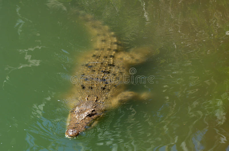 Australian salt water crocodile. Head of a male Australian Salt water crocodile appear above the water.It's the largest of all living reptiles, as well as the royalty free stock image
