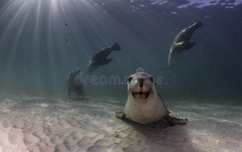 Australian sea lion resting on a sandy bottom. South Australia royalty free stock photo