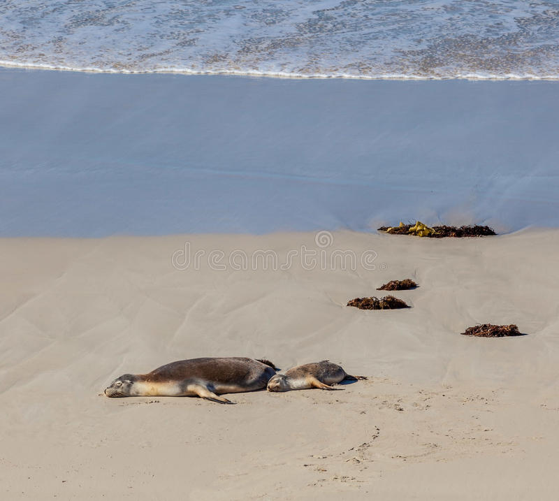 Australian Sea Lion seals mother and cub sleeping on a beach. Kangaroo Island, South Australia. royalty free stock photo
