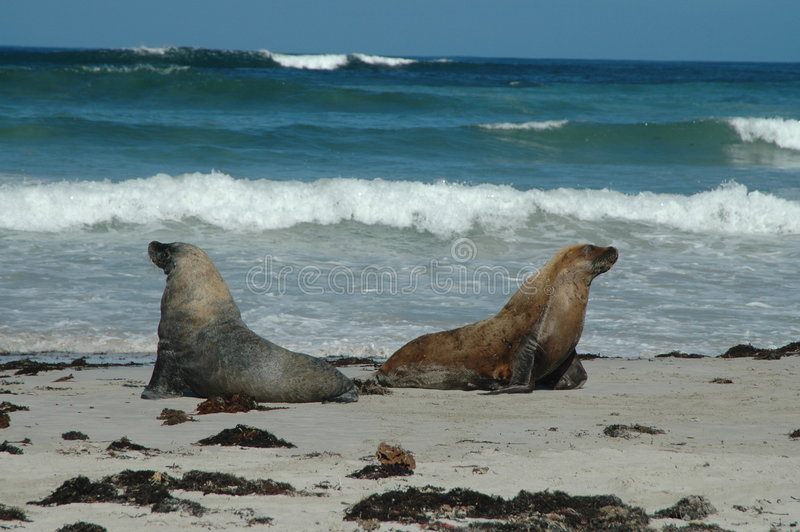 Australian sea lions royalty free stock image