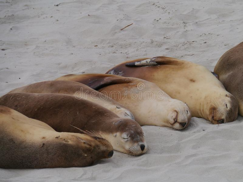 Download Australian sea lions stock image. Image of animal, colony - 36498109