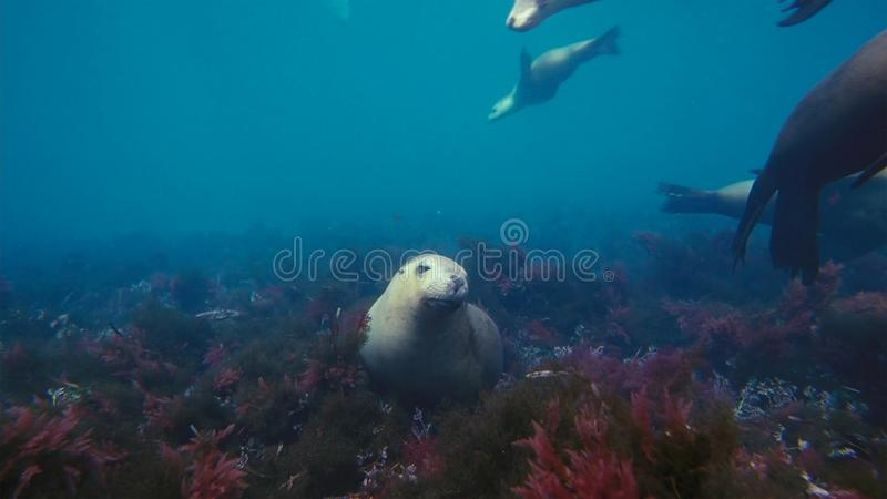 Australian sea lions Neophoca cinereaplaying in shallow waters in the Neptune Islands area, South Australia stock image