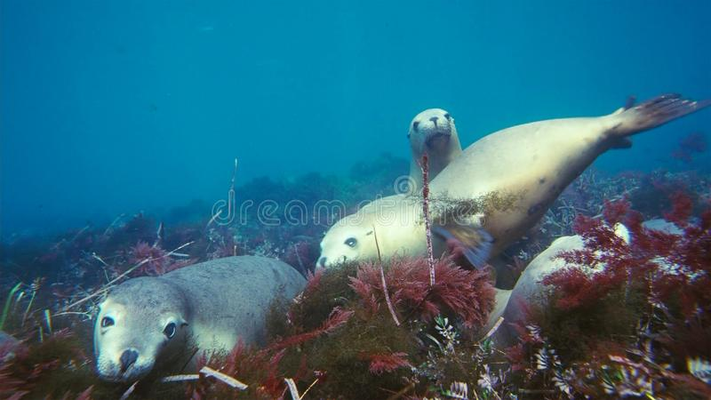 Australian sea lions Neophoca cinereaplaying in shallow waters in the Neptune Islands area, South Australia royalty free stock photography