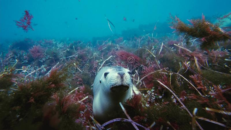 Australian sea lions Neophoca cinereaplaying in shallow waters in the Neptune Islands area, South Australia stock photography