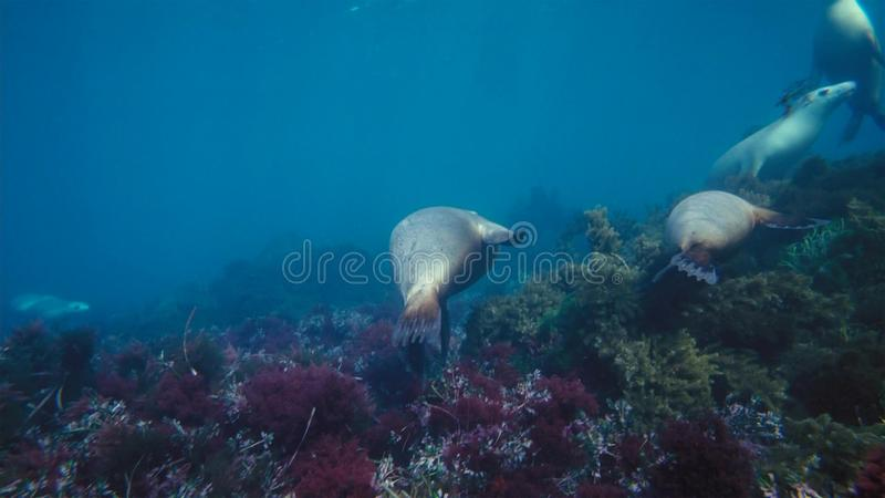Australian sea lions Neophoca cinereaplaying in shallow waters in the Neptune Islands area, South Australia stock photo