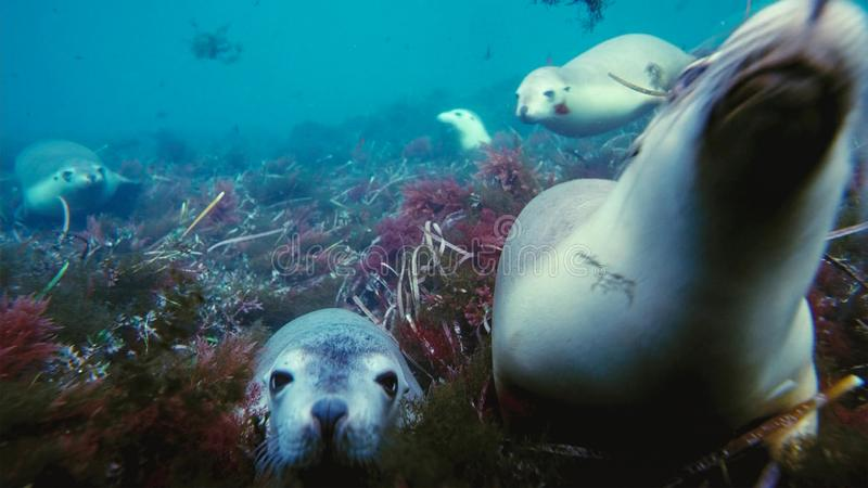 Australian sea lions Neophoca cinereaplaying in shallow waters in the Neptune Islands area, South Australia stock photos