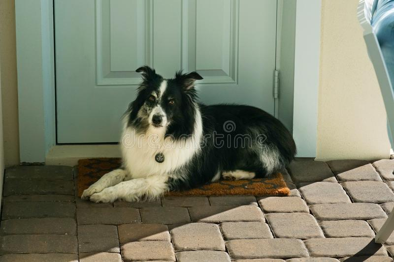 Australian Shepard waiting for his master stock images