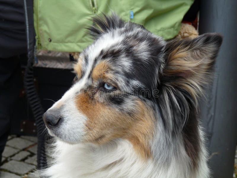 Australian Sheperd Dog sitting in town royalty free stock photos
