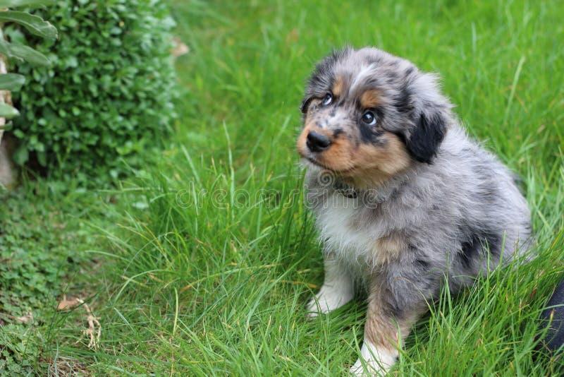 australian sheperd puppy stock photography