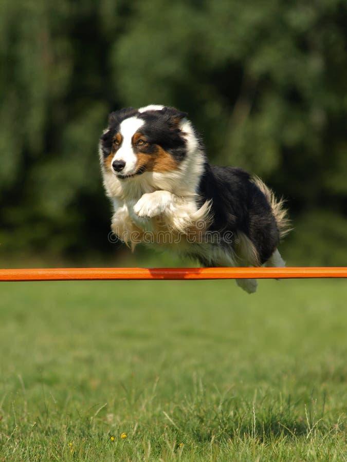 Australian shepherd stock image