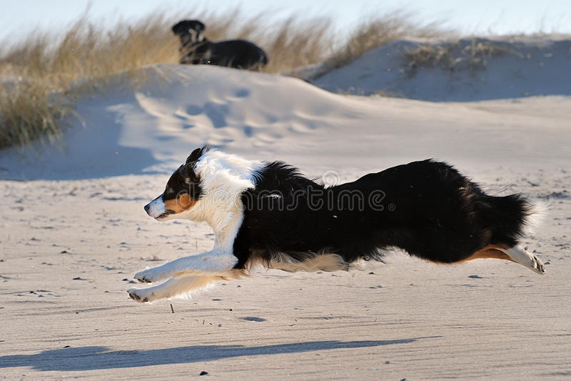 Download Australian Shepherd stock image. Image of wood, vigilant - 22660775
