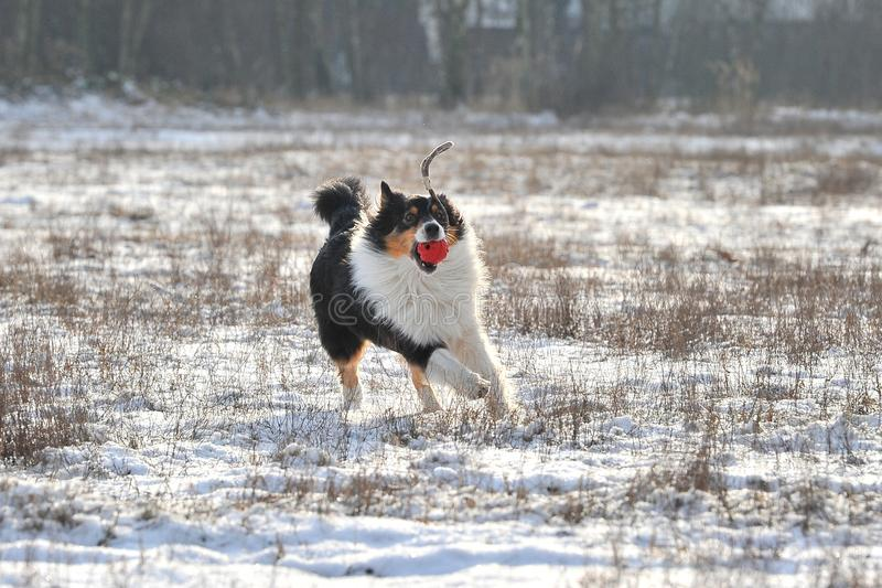 Download Australian Shepherd stock image. Image of running, black - 28825925