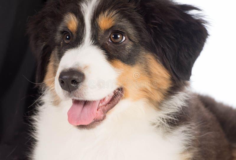 Australian Shepherd. Puppy portrait - 12 weeks old royalty free stock images