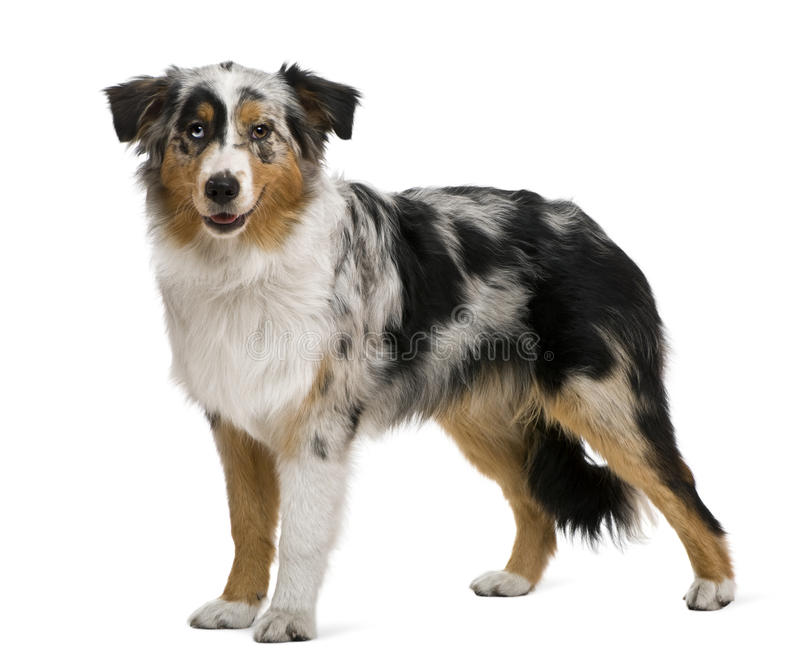 Download Australian Shepherd, 6 Months Old Stock Photo - Image: 14762788