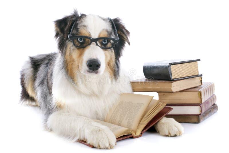 Australian shepherd and books stock image