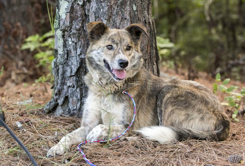 Happy Aussie mix breed dog laying down. Australian Shepherd brindle and white mixed breed male dog outside on leash wagging tail. Humane society pet adoption dog stock photos
