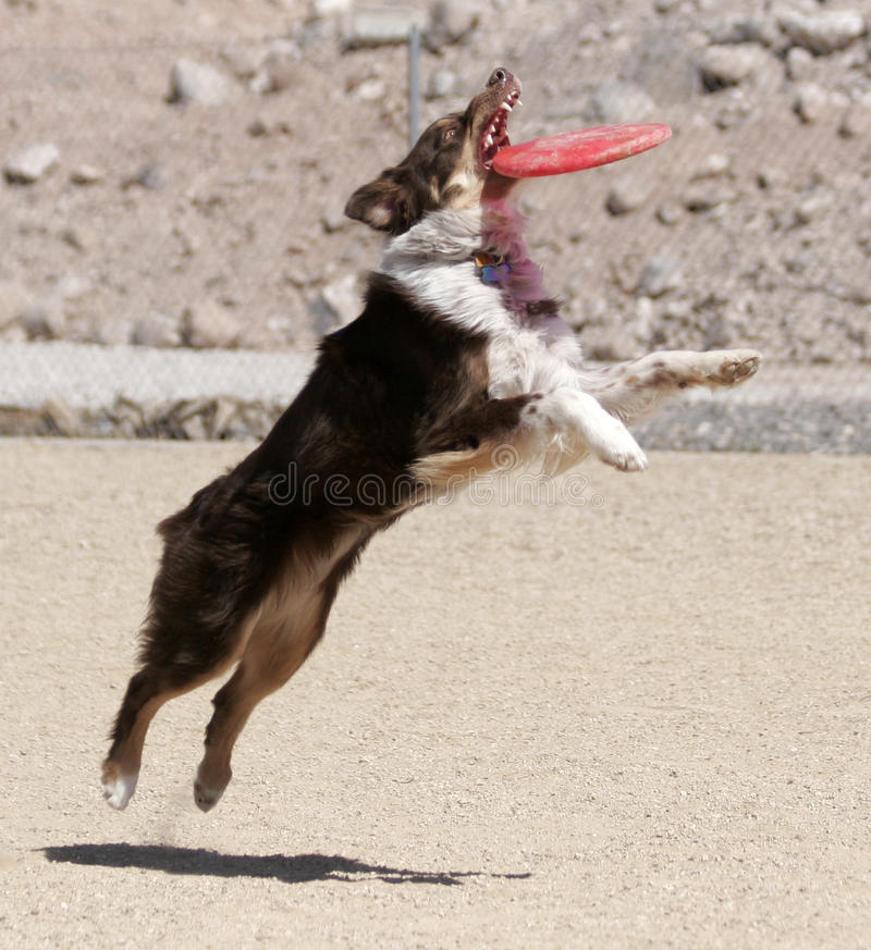 Download Australian Shepherd Catching A Disk Stock Photo - Image: 26844668