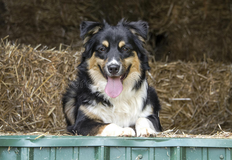 Australian Shepherd Cattle dog royalty free stock photo