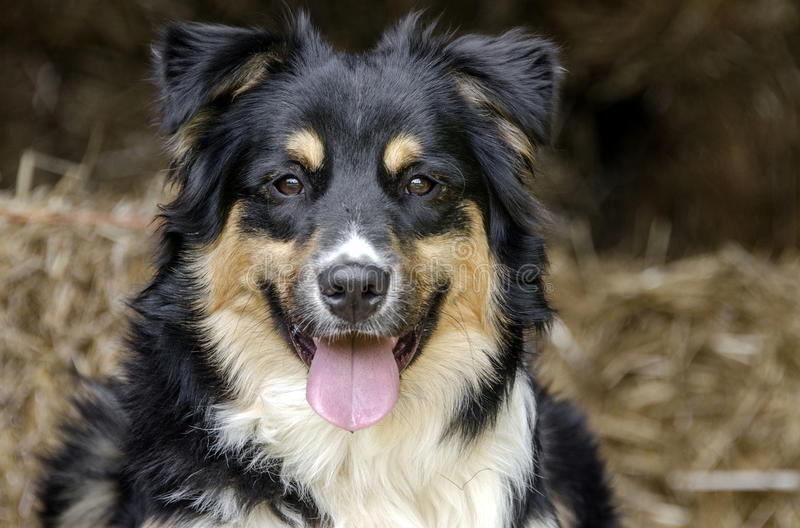 Australian Shepherd Cattle dog royalty free stock photography
