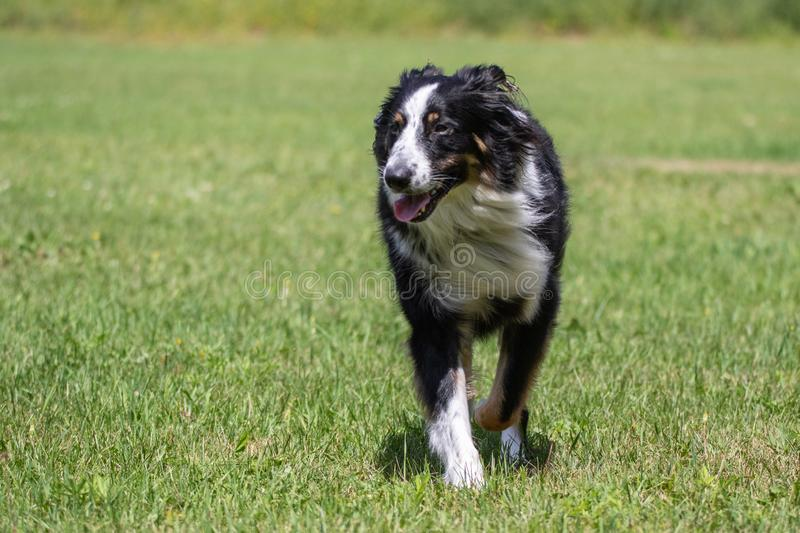 Barney Running. Australian Shepherd Collie Mix enjoying a run in the yard. These intelligent dogs need lots of exercise and attention and make wonderful pets in royalty free stock image