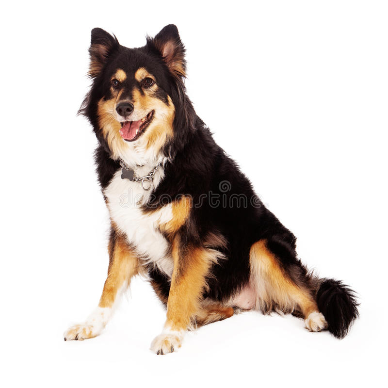 Australian Shepherd Cross Dog. A beautiful large Australian Shepherd cross dog sitting with a happy expression royalty free stock image