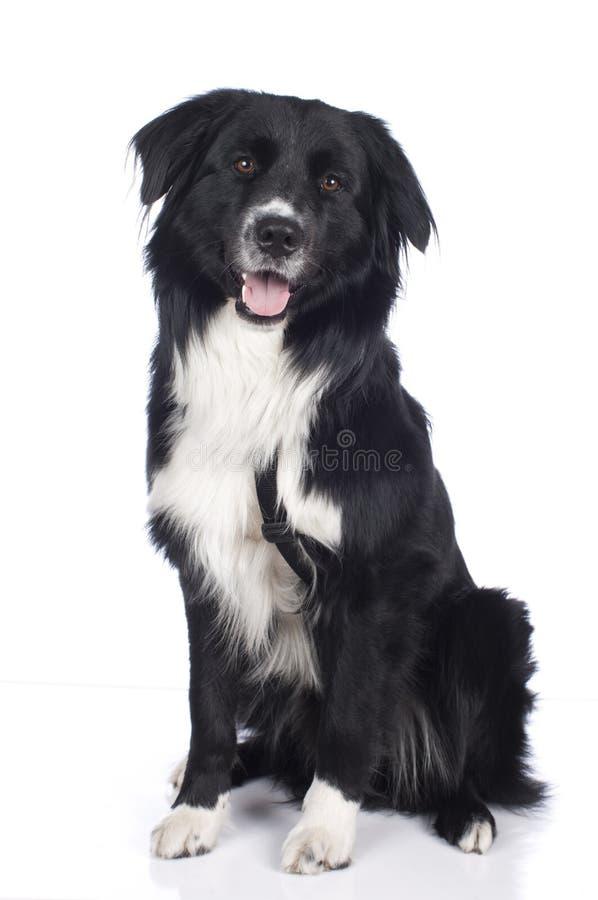 Australian shepherd crossbreed royalty free stock image
