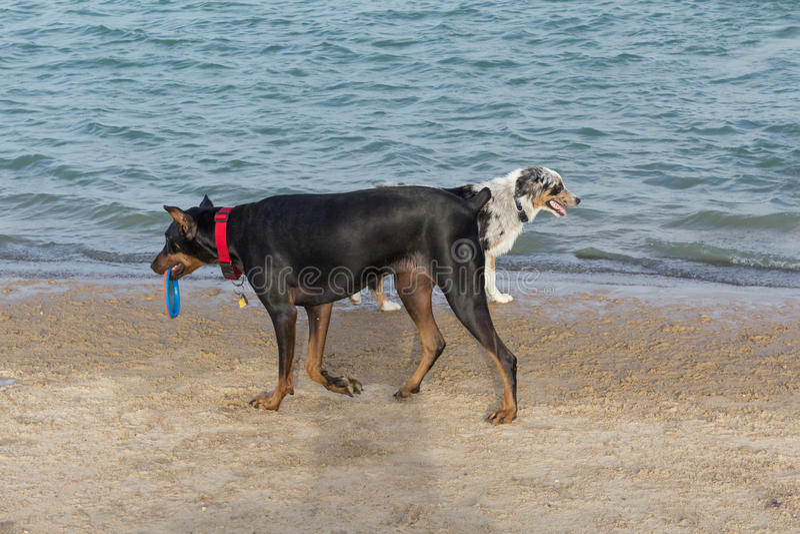 Australian shepherd and doberman pinscher passing on a beach royalty free stock image