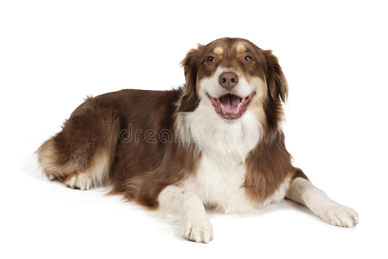 Australian Shepherd Dog. Happy Australian Shepherd dog on white background royalty free stock photos