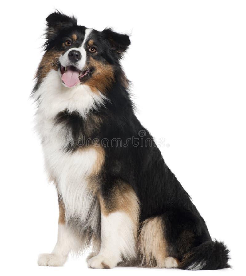 Australian Shepherd dog, 2 years old, sitting royalty free stock photography