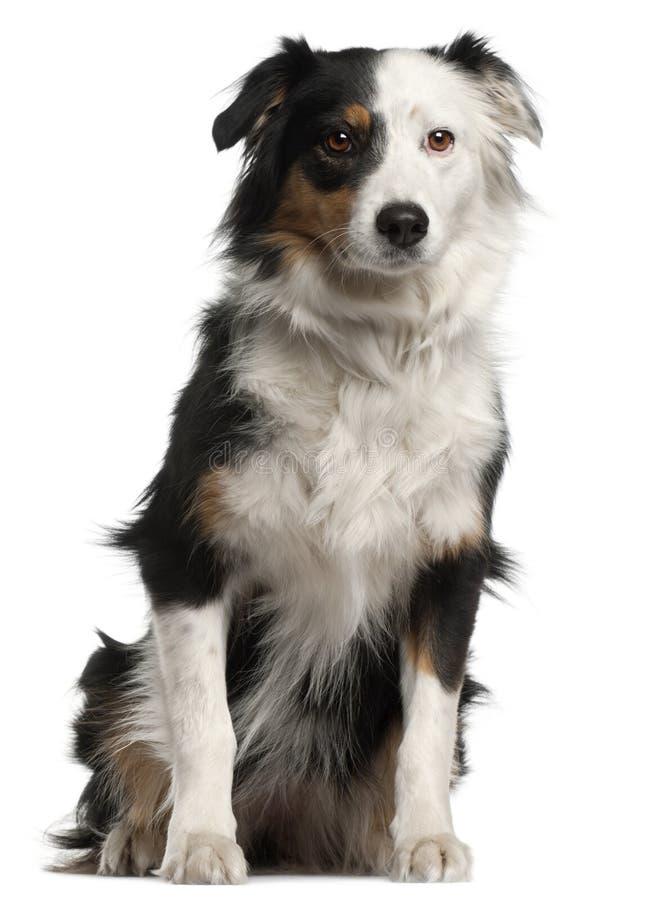 Australian Shepherd dog, 6 years old, sitting stock photos