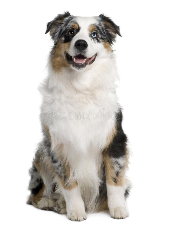 Australian Shepherd Dog, 9 Months Old, Sitting Stock Photography