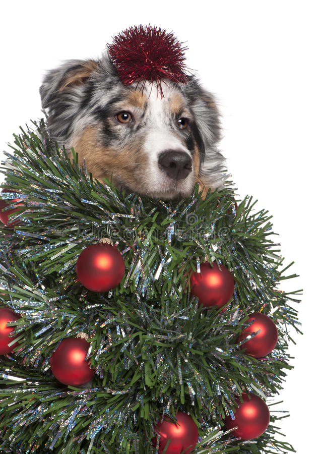 Australian Shepherd dog dressed as christmas tree. 7 months old, in front of white background stock photos