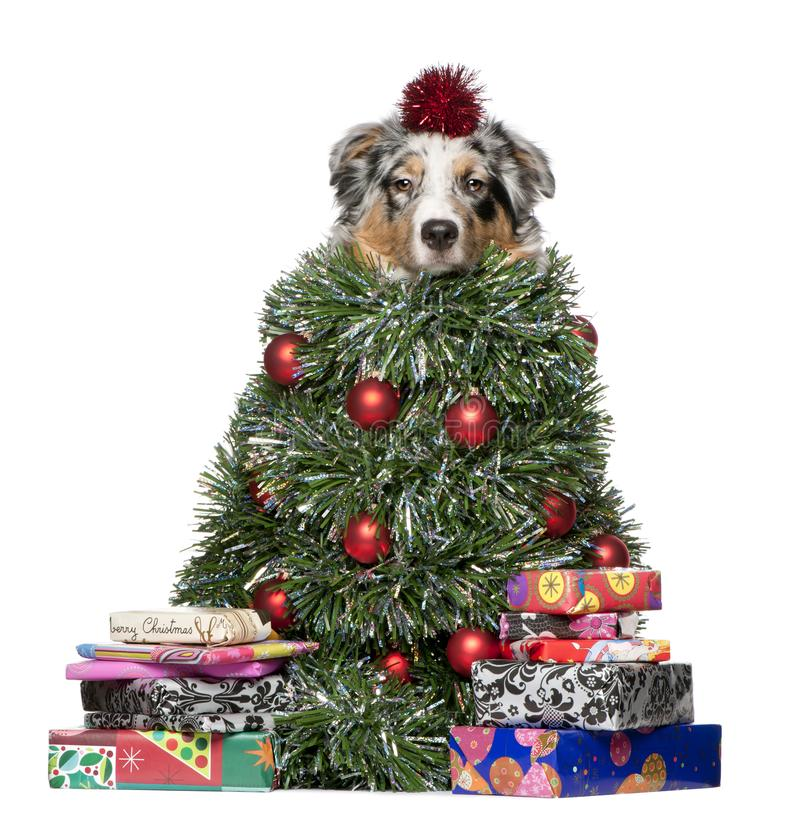 Australian Shepherd dog dressed as Christmas tree. 7 months old, in front of white background royalty free stock images